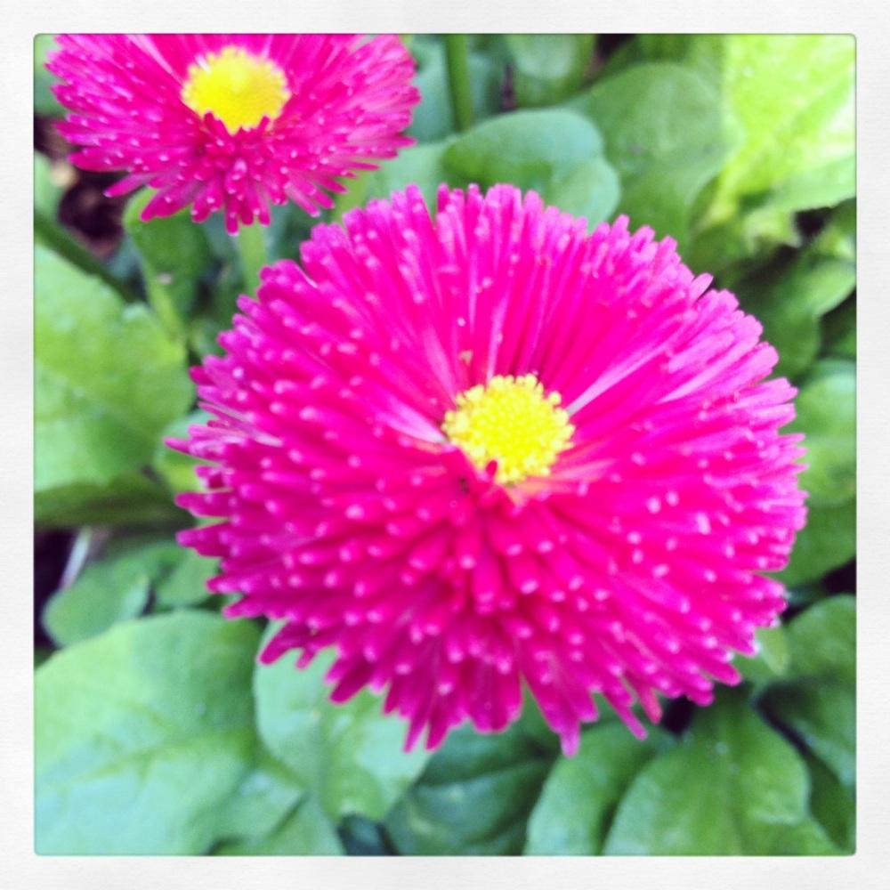 pâquerettes roses