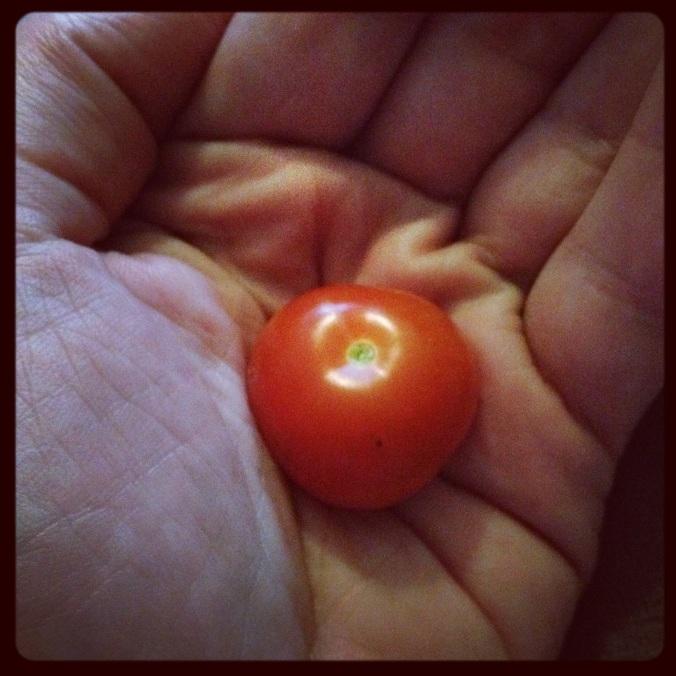Première tomate cerise