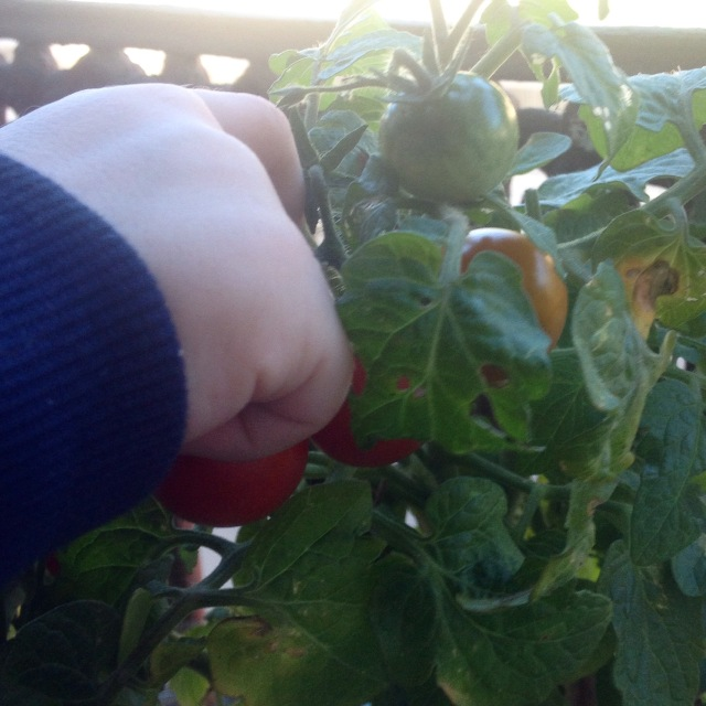 cueillette des tomates cerises