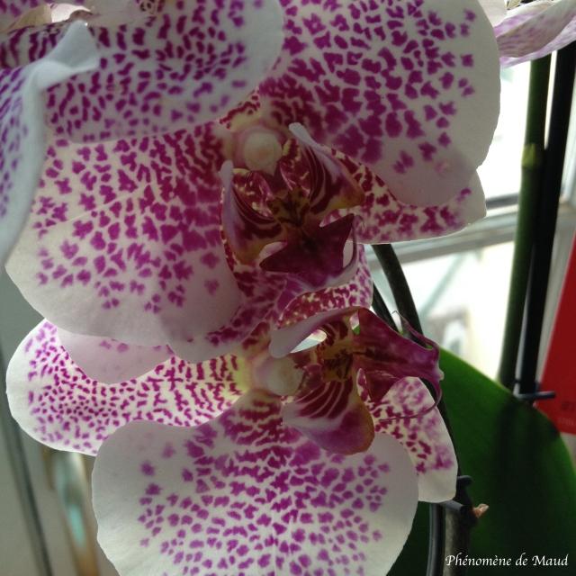 orchidée mouchetée