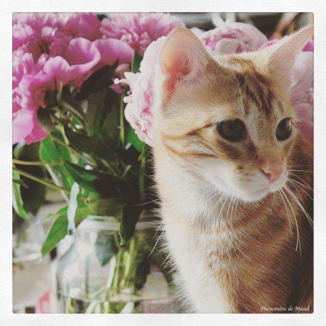 chat roux pivoines