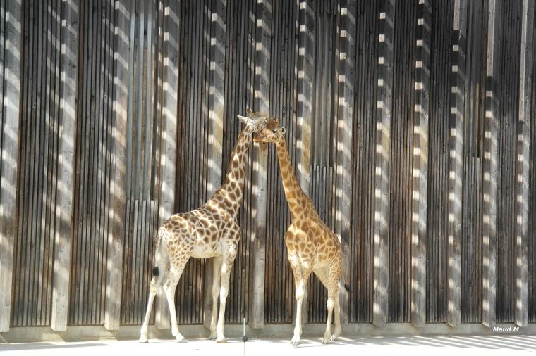 girafes.jpg