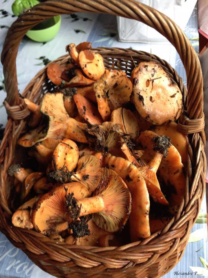 champignons alexandre.jpg