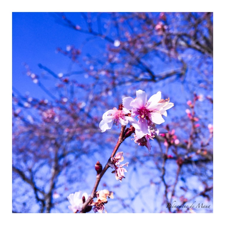 arbre-en-fleurs