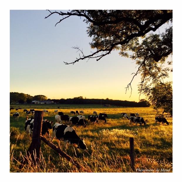 vaches au pré campagne.jpeg