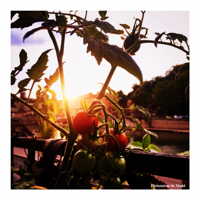pied de tomates cerises.jpeg