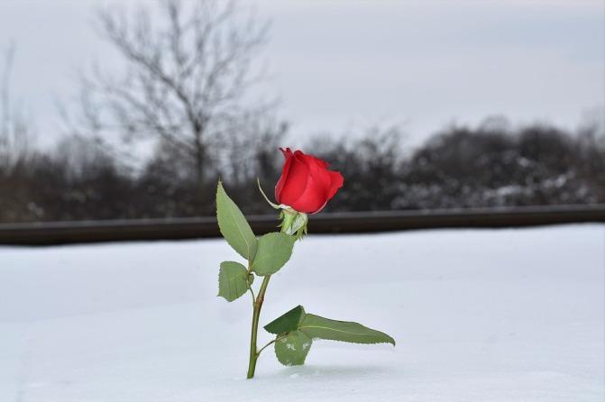 red-rose-in-snow-3183721_960_720.jpg