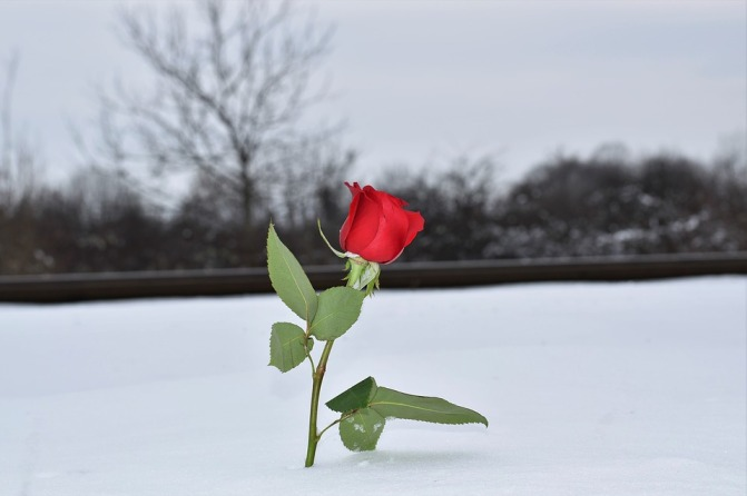 red-rose-in-snow-3183721_960_720.jpg