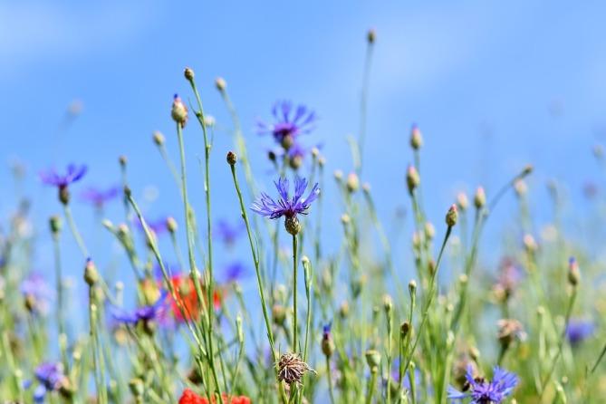 alpine-cornflower-3440640_960_720.jpg
