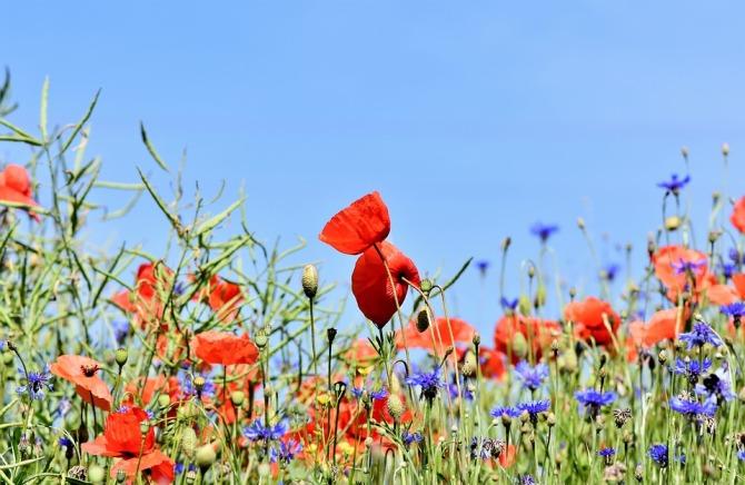 poppy-3441348_960_720.jpg
