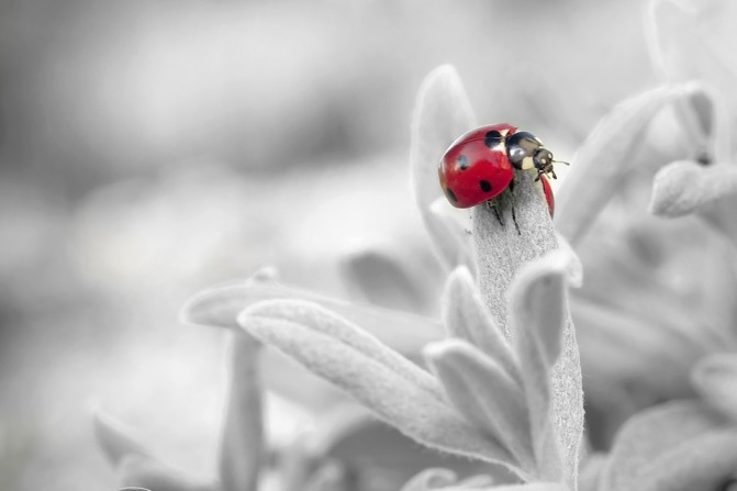 ladybug-796483_960_720