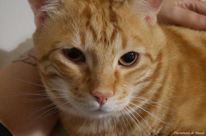 chat roux Tigrou phenomene de maud