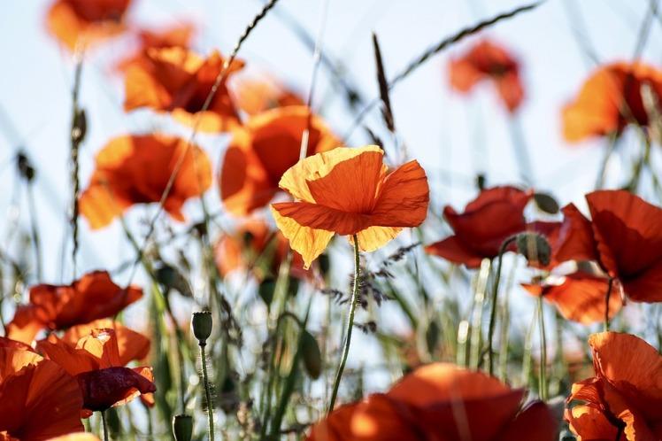 poppy-3581709_960_720.jpg