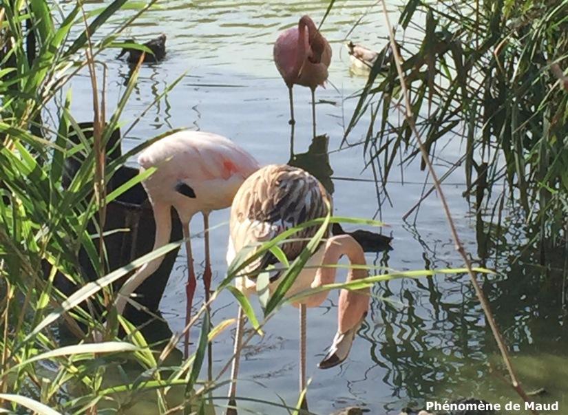 flamants roses parc des oiseaux vilars les dombes phenomene de maud.jpg