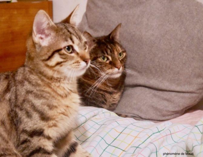 chats tigrés.jpeg