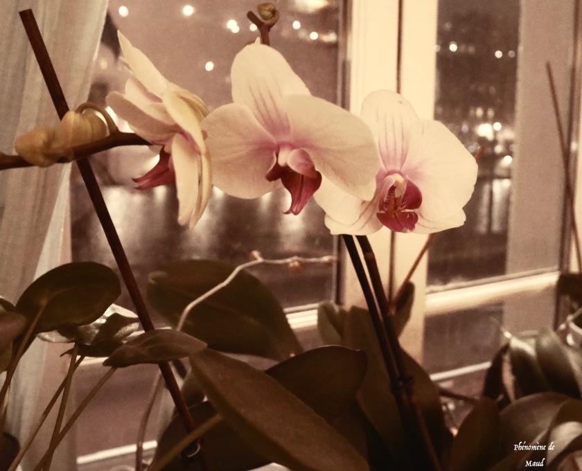 orchidées en fleurs.jpeg