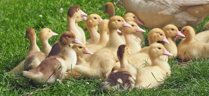 goslings-1566724_960_720.jpg