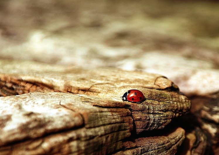 ladybug-354521_960_720.jpg