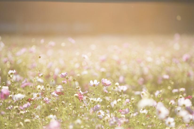 cosmos-flowers-1138041_960_720.jpg