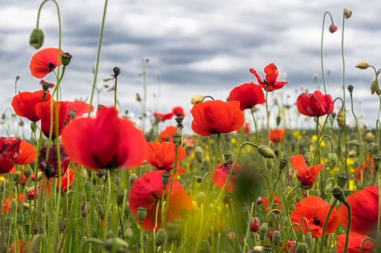 poppy-flower-4246241_960_720.jpg