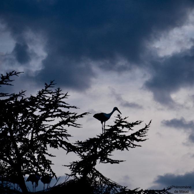 cigogne sur arbre phenomene de maud