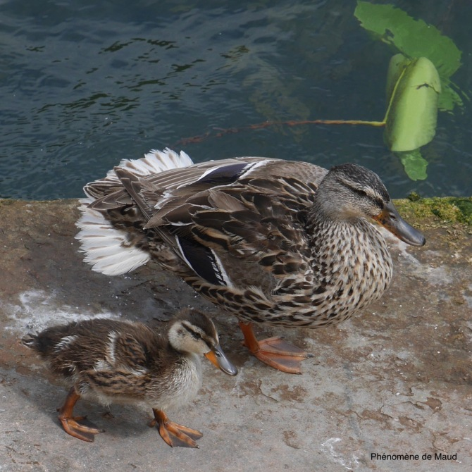 duo bebe maman canards