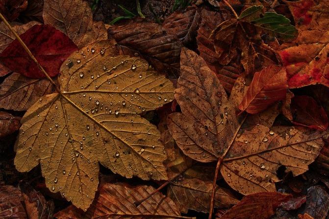 maple-leaf-4597501_960_720.jpg