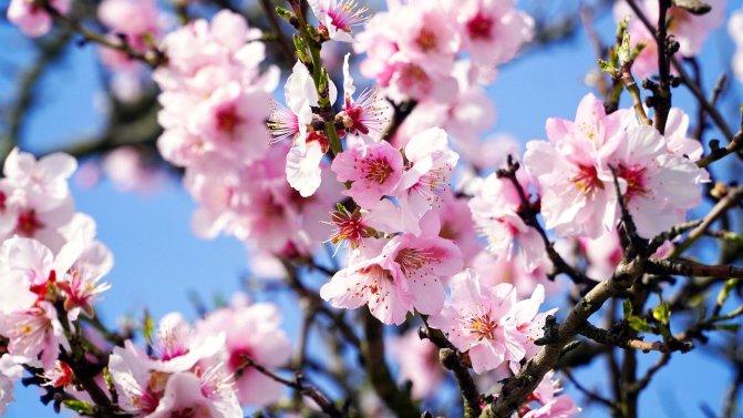 almond-tree-4933573_1280