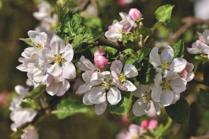 apple-blossom-5054130_1280