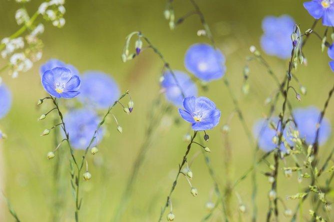 blue-flax-5200811_1280