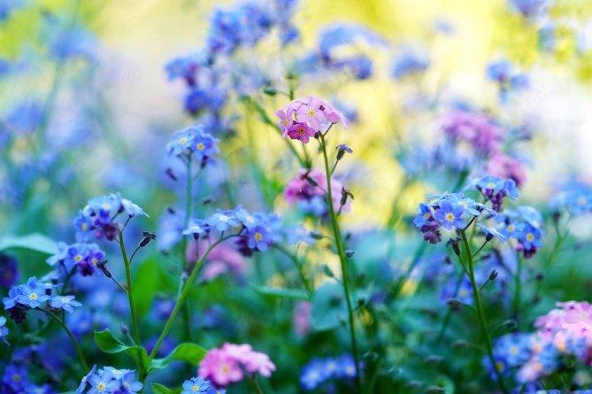 forget-me-not-5143015_1280