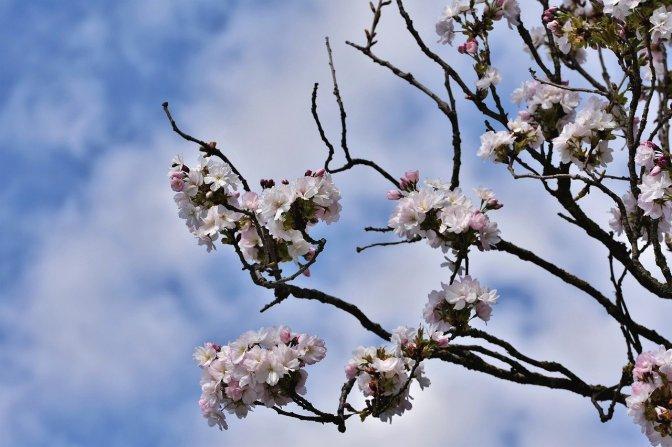ornamental-cherry-5037544_1280