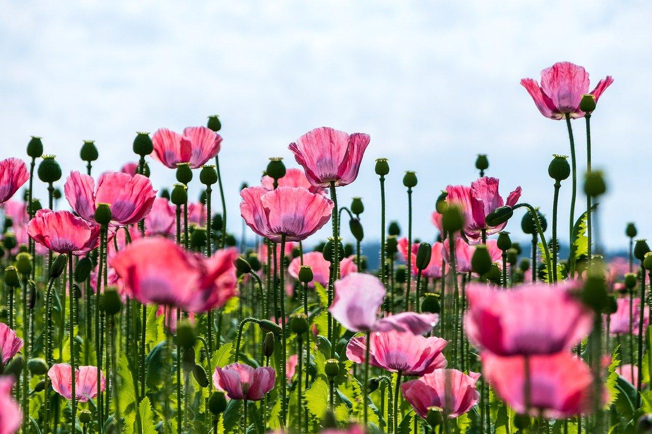 poppy-5351553_1280