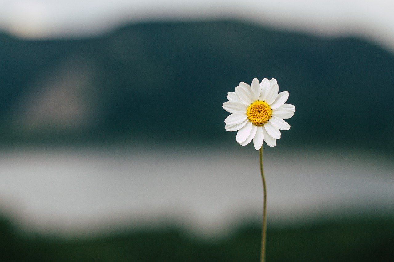 daisy-5383056_1280
